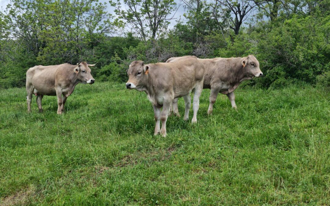 Expoforga celebra las Subastas nacional y autonómica de ganado vacuno y ovino